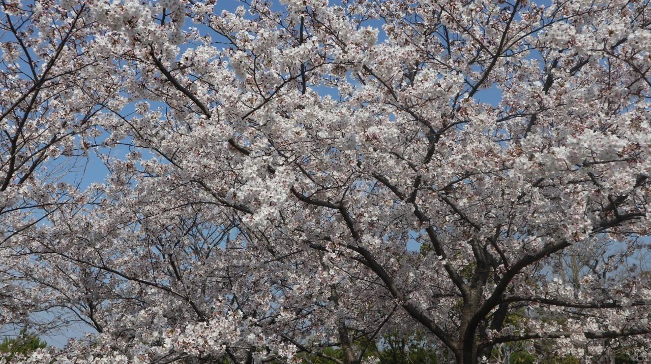 0413お花見3